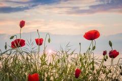 Vallmo på havskusten på soluppgång Royaltyfri Bild