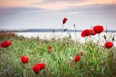 Vallmo på havskusten på soluppgång Royaltyfria Bilder