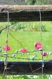 Vallmo som blommar bak trådar Arkivfoton