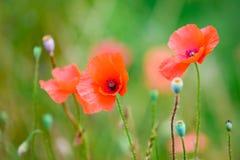 Vallmo som blommar i sommarfält och att blomma vallmo och vallmofrökapslar royaltyfri fotografi