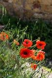 Vallmo som blommar längs vägrenen i den Val d'Orciaen Tuscany Arkivbilder
