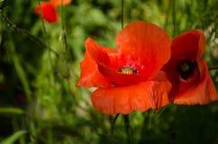Vallmoblomma i naturen Royaltyfria Bilder