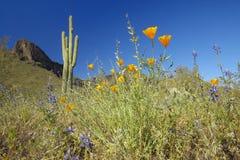 Vallmoblomman i blå himmel, saguarokaktuns och ökenblommor i vår på Picacho når en höjdpunkt delstatsparknord av Tucson, AZ Arkivfoto