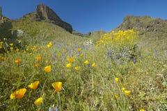 Vallmoblomman i blå himmel, saguarokaktuns och ökenblommor i vår på Picacho når en höjdpunkt delstatsparknord av Tucson, AZ Arkivbild