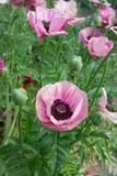 Vallmoblommarosa färger Royaltyfri Fotografi