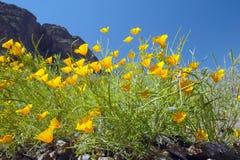 Vallmoblommor som blomstrar i vår i öken på norden för Picacho maximumdelstatspark av Tucson, AZ Royaltyfri Bild