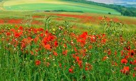 Vallmofält med att bölja kullar Fotografering för Bildbyråer