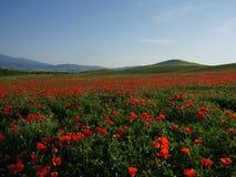 Vallmofält nära Pienza under de blåa himlarna Fotografering för Bildbyråer