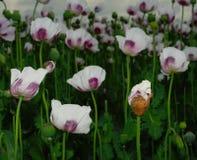 Vallmofält, opiumvallmo III Royaltyfria Foton