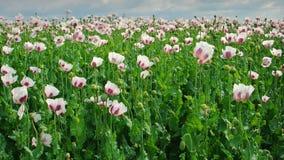Vallmofält, opiumvallmo V Arkivbild