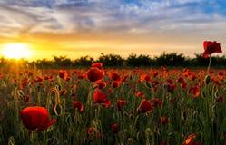 Vallmofält på solnedgång - 3 Royaltyfri Fotografi