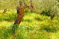 Vallmon blommar ängen Arkivbilder