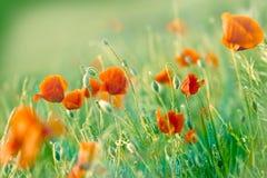 Vallmon blommar i äng Royaltyfri Foto