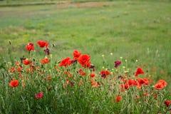 Vallmor i Provence Arkivfoton