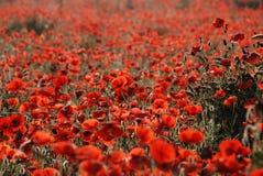 vallmor tuscany Royaltyfri Fotografi