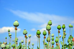 Vallmoväxtfröskidor och blå himmel Royaltyfri Bild