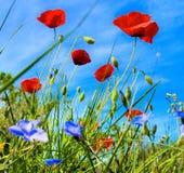 Vallmovåren blommar med bakgrund för blå himmel Royaltyfri Fotografi