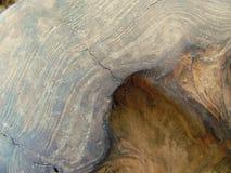 Valnöt Burl Wood Texture arkivfoton