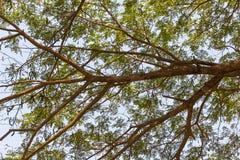 Valnöt för östlig indier, regnträd arkivfoton