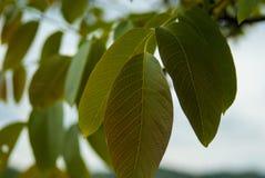 Valnötblad på filial arkivfoto