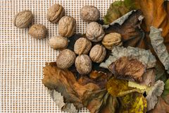 Valnötter på färgrika höstsidor Valnötter Höst royaltyfri bild