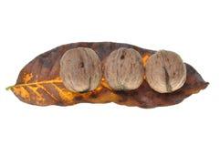 Valnötter på höstleafen Fotografering för Bildbyråer