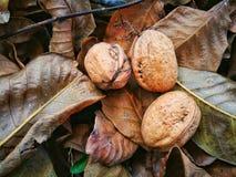 Valnötter på jordningen royaltyfria bilder