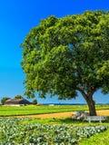 Valnötträd i fält royaltyfria bilder