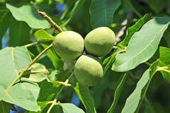 Valnötträd (juglans regia) med frukt arkivfoton