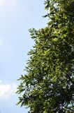 Valnötträd mot den blåa himlen Royaltyfri Foto
