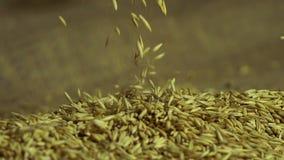 Valor del grano, hombre que toma las semillas de la avena en las palmas, disfrutando de calidad, agricultura metrajes