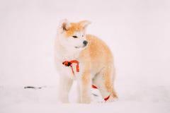 Valp av Akita Dog Or Akita Inu, japan Akita Standing In Snow Royaltyfria Bilder