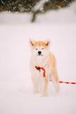 Valp av Akita Dog Or Akita Inu, japan Akita Standing In Snow Arkivfoton