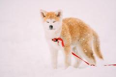 Valp av Akita Dog Or Akita Inu, japan Akita Standing In Snow Royaltyfri Foto