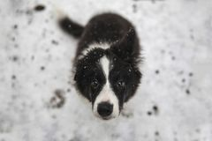 Valp av border collie Royaltyfria Foton