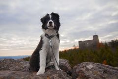 Valp av border collie Royaltyfri Fotografi