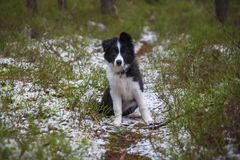 Valp av border collie Royaltyfri Bild