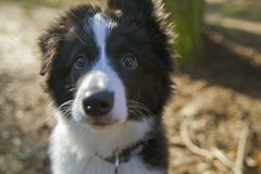 Valp av border collie Arkivfoton