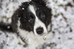 Valp av border collie Royaltyfria Bilder