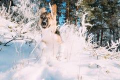Valp av den blandade avelhunden som spelar att köra i snöig Forest In Winter Arkivfoton