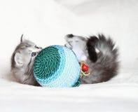 Valp av den siberian katten med julbollen Royaltyfri Foto