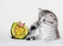 Valp av den siberian katten med julgranatäpplet Arkivfoton