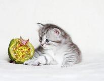 Valp av den siberian katten med julgranatäpplet Arkivbild