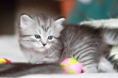 Valp av den siberian katten på en månad Royaltyfria Bilder