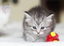 Valp av den siberian katten på en månad Arkivfoto