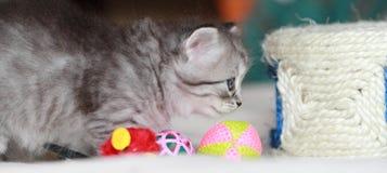 Valp av den siberian katten på en månad Arkivbilder