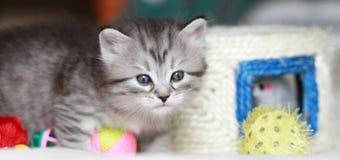 Valp av den siberian katten på en månad Royaltyfri Foto