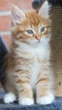 Valp av den siberian katten, röd version Arkivfoton