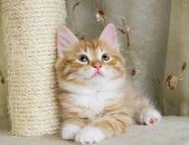 Valp av den siberian katten, röd version Royaltyfri Foto