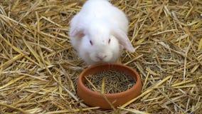 Valp av kanin som äter i lantgården stock video